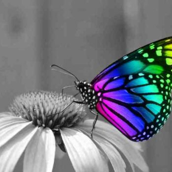 butterfly gay 2